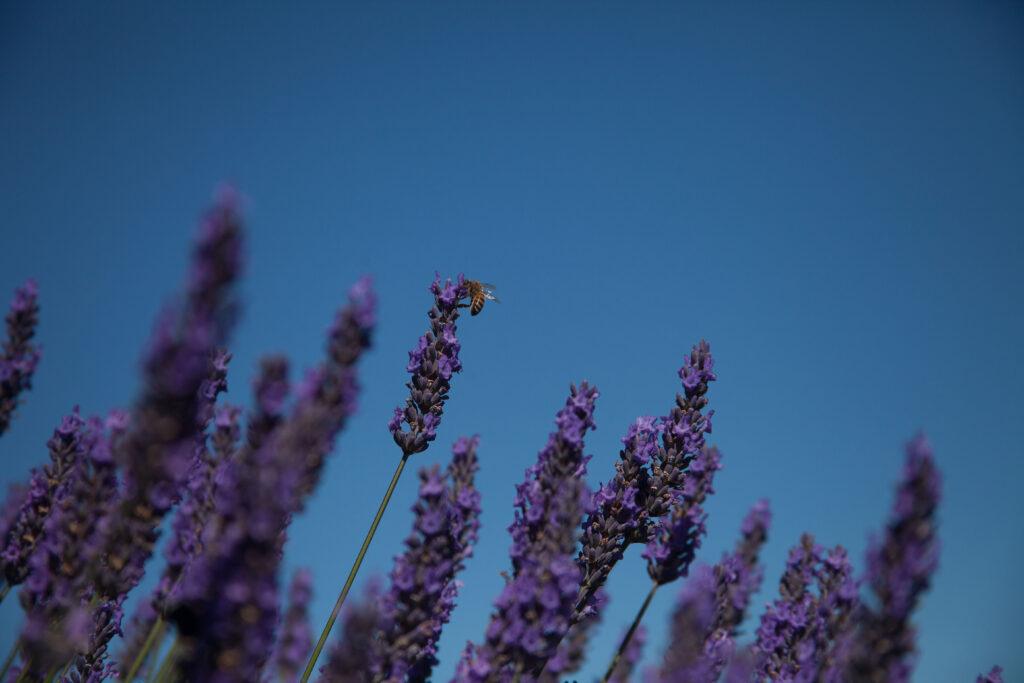 lavenderbee1